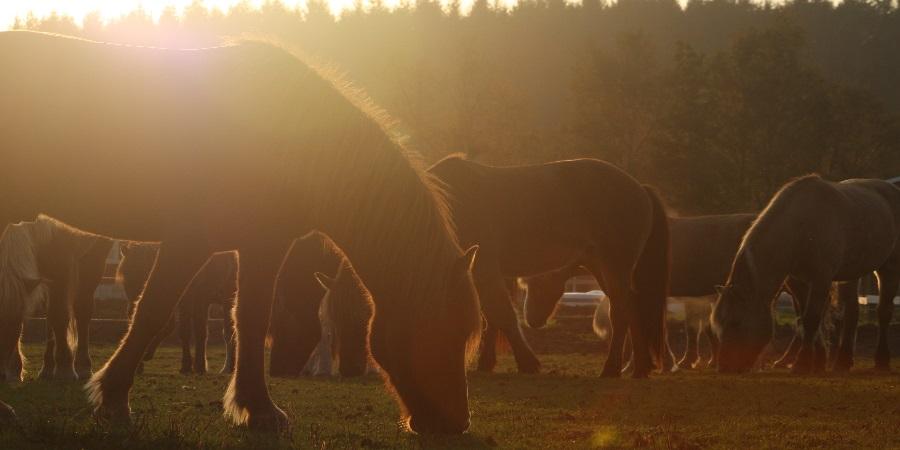 Hester i solnedgang