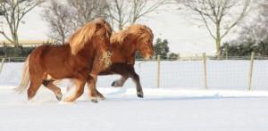 Hester i snøen