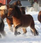 Loki i galopp i snøen
