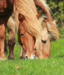 Harmonisk flokk. Her er rideskolehestene Blossi og Ljosfari.