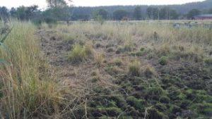 Hestene våre spiste mye siv, og hindrer dermed hindrer de også elva i å gro igjen.